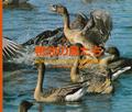 写真集 鴨池の鳥たち